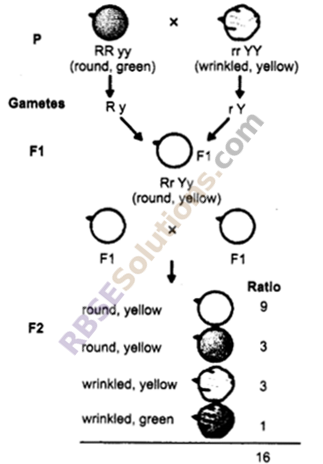 RBSE Solutions for Class 10 Science Chapter 3 Genetics image - 3