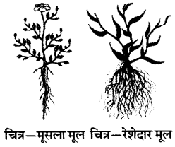 RBSE Solutions for Class 6 Science Chapter 9 पौधों के प्रकार एवं भाग 3