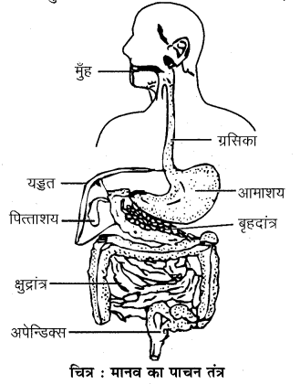RBSE Solutions for Class 7 Science Chapter 2 प्राणियों में पोषण 3