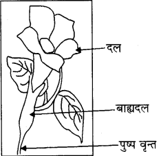 RBSE Solutions for Class 8 Science Chapter 6 पौधों में जनन 5