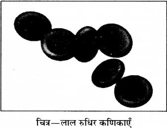 RBSE Solutions for Class 8 Science Chapter 7 रक्त परिसंचरण 2