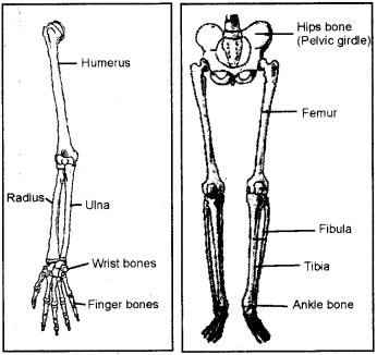 RBSE Solutions for Class 7 Science Chapter 10 Skeleton and Joints 5