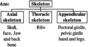 RBSE Solutions for Class 7 Science Chapter 10 Skeleton and Joints 7