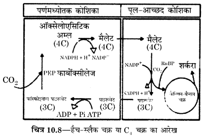 RBSE Solutions for Class 12 Biology Chapter 10 3Q.3.1