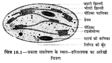 RBSE Solutions for Class 12 Biology Chapter 10 प्रकाश संश्लेषण