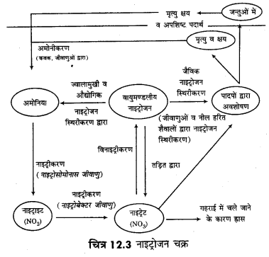 RBSE Solutions for Class 12 Biology Chapter 12 नाइट्रोजन उपापचय तथा नाइट्रोजन चक्र