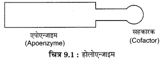 RBSE Solutions for Class 12 Biology Chapter 9 एन्जाइम