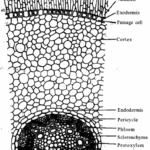 RBSE Solutions for Class 11 Biology Chapter 15 Internal Structure of Root, Stem and Leaf