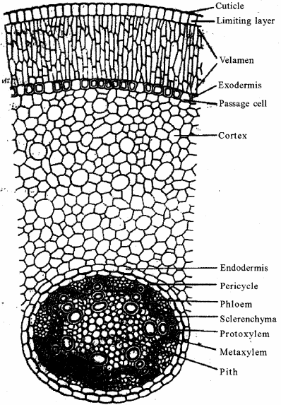 RBSE Solutions for Class 11 Biology Chapter 15 Internal Structure of Root, Stem and Leaf img-1