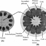 RBSE Solutions for Class 11 Biology Chapter 16 Normal Secondary Growth in Stem and Root