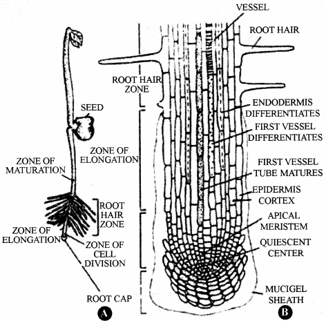 RBSE Solutions for Class 11 Biology Chapter 17 Root: External Morphology img-10