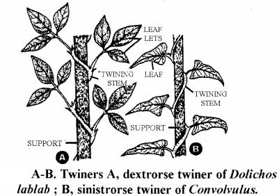 RBSE Solutions for Class 11 Biology Chapter 18 Stem: External Morphology img-8