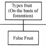 RBSE Solutions for Class 11 Biology Chapter 22 Fruit and Seed