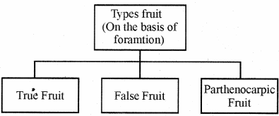 RBSE Solutions for Class 11 Biology Chapter 22 Fruit and Seed img-1