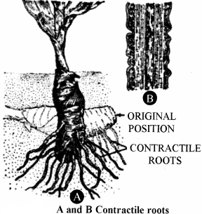 RBSE Solutions for Class 11 Biology Chapter 17 Root: External Morphology img-6