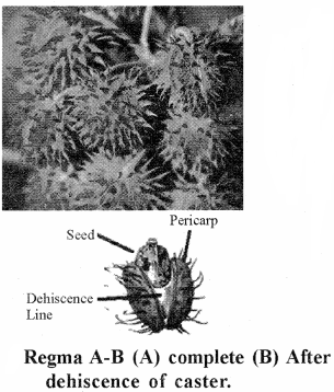RBSE Solutions for Class 11 Biology Chapter 22 Fruit and Seed img-33