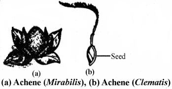 RBSE Solutions for Class 11 Biology Chapter 22 Fruit and Seed img-12
