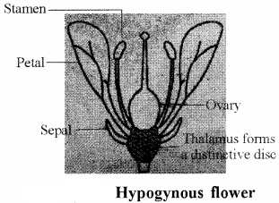 RBSE Solutions for Class 11 Biology Chapter 21 Flower img-15