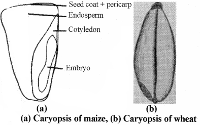 RBSE Solutions for Class 11 Biology Chapter 22 Fruit and Seed img-13