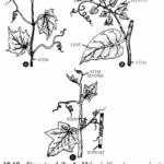 RBSE Solutions for Class 11 Biology Chapter 18 Stem: External Morphology