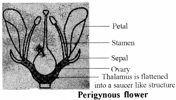 RBSE Solutions for Class 11 Biology Chapter 21 Flower img-16