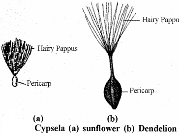 RBSE Solutions for Class 11 Biology Chapter 22 Fruit and Seed img-36