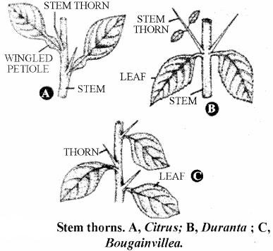 RBSE Solutions for Class 11 Biology Chapter 18 Stem: External Morphology img-2