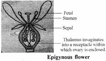 RBSE Solutions for Class 11 Biology Chapter 21 Flower img-17