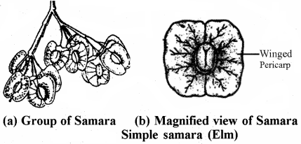 RBSE Solutions for Class 11 Biology Chapter 22 Fruit and Seed img-15