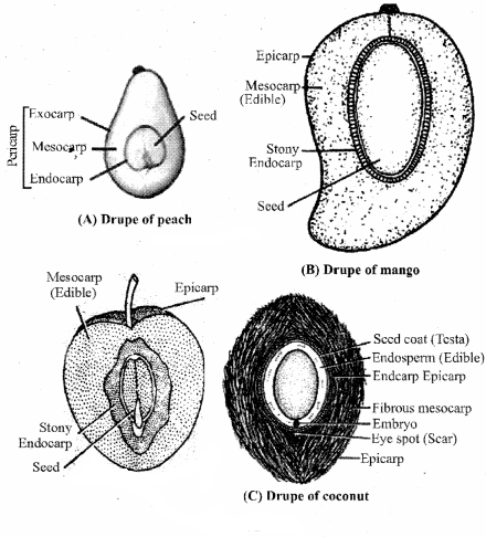 RBSE Solutions for Class 11 Biology Chapter 22 Fruit and Seed img-39