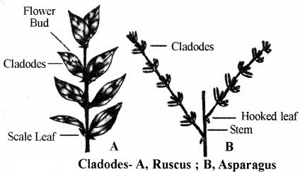 RBSE Solutions for Class 11 Biology Chapter 18 Stem: External Morphology img-4