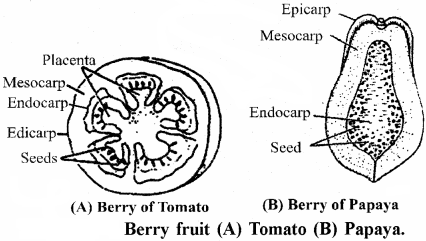 RBSE Solutions for Class 11 Biology Chapter 22 Fruit and Seed img-18