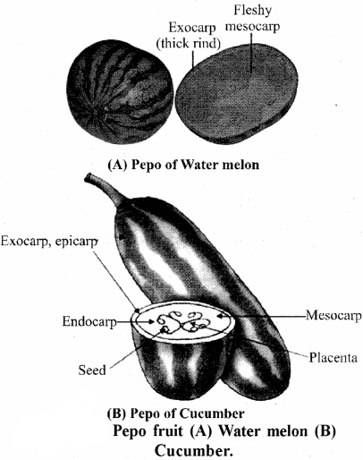 RBSE Solutions for Class 11 Biology Chapter 22 Fruit and Seed img-19