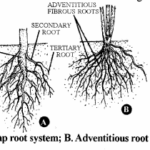 RBSE Solutions for Class 11 Biology Chapter 17 Root: External Morphology