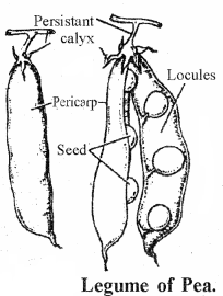 RBSE Solutions for Class 11 Biology Chapter 22 Fruit and Seed img-2