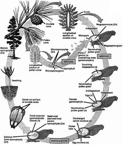 RBSE Solutions for Class 11 Biology Chapter 5 Plant Kingdom img-16