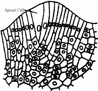 RBSE Solutions for Class 11 Biology Chapter 13 Plant Tissue: Internal Morphology and Anatomy img-6