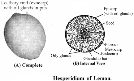 RBSE Solutions for Class 11 Biology Chapter 22 Fruit and Seed img-21