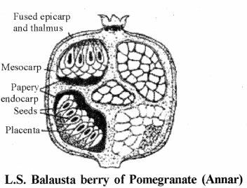 RBSE Solutions for Class 11 Biology Chapter 22 Fruit and Seed img-22