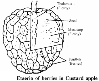RBSE Solutions for Class 11 Biology Chapter 22 Fruit and Seed img-55