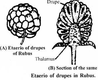 RBSE Solutions for Class 11 Biology Chapter 22 Fruit and Seed img-56