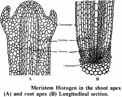 RBSE Solutions for Class 11 Biology Chapter 13 Plant Tissue: Internal Morphology and Anatomy img-8