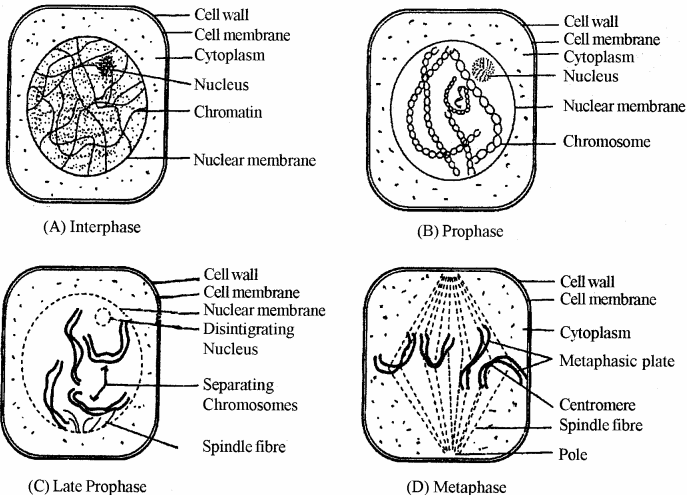 RBSE Solutions for Class 11 Biology Chapter 11 Cell Division img-3