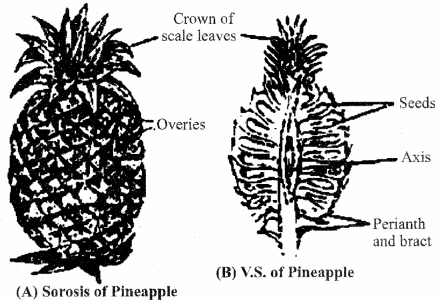 RBSE Solutions for Class 11 Biology Chapter 22 Fruit and Seed img-57