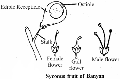 RBSE Solutions for Class 11 Biology Chapter 22 Fruit and Seed img-59