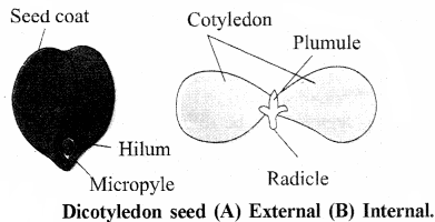 RBSE Solutions for Class 11 Biology Chapter 22 Fruit and Seed img-67