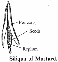 RBSE Solutions for Class 11 Biology Chapter 22 Fruit and Seed img-4