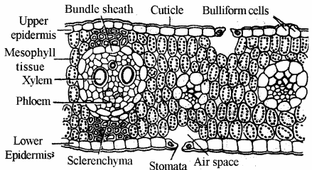 RBSE Solutions for Class 11 Biology Chapter 15 Internal Structure of Root, Stem and Leaf img-4