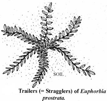 RBSE Solutions for Class 11 Biology Chapter 18 Stem: External Morphology img-11