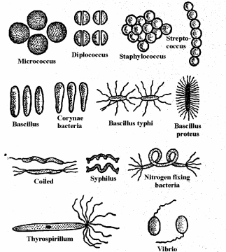 RBSE Solutions for Class 11 Biology Chapter 4 Kingdom: Monera, Protista and Fungi img-4